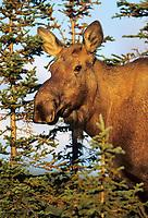 Cow moose, spruce trees, autumn, Denali National Park, Alaska