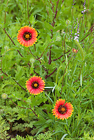 106920003 blanketflowers or indian blanketflowers gaillardia puchella bloom in llano county texas united states