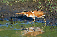 508730007 a wild adult female least bittern ixobrychus exilis walks along the edge of a pond in the anahuac national wildlife refuge in texas