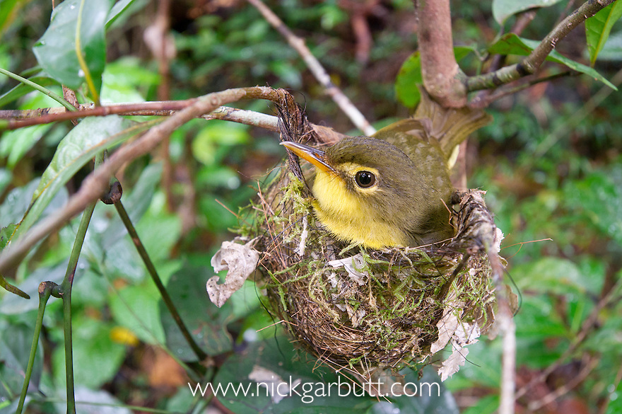 Spectacled Tetraka (formerly Spectacled Greenbul) (Xanthomixis zosterops) (family Bernieridae) incubating eggs on the nest. Mantadia National Park, eastern Madagascar.