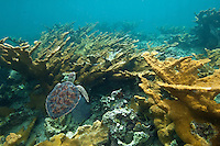 Young Hawksbill turtle amidst the elkhorn coral at the reef at Hawksnest Bay St John, U.S. Virgin Islands
