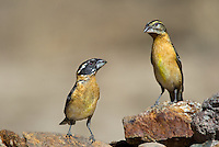 538660008 a wild male and female black-headed grosbeak pheucticus melanocephalus stand near a small pond near the madera grasslands outside green valley arizona united states