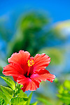 Caribbean, Bahamas, Castaway Cay. Hibiscus Flower at Castaway Cay.