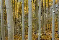Aspen, Populus Tremula, Uncompahgre National Forest, Colorado
