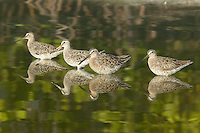 Four Short-billed Dowitchers (Limnodromus griseus) in shallow water with green trees reflected in Little Estero Lagoon, Fort Myers Beach, Florida, USA