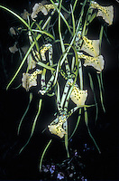 Brassia Rex ?Tahoma? Spider Orchid hybrid