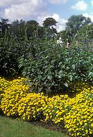 Signet marigolds Tagetes 'Lemon Gem'  & Salvia caerulea (GR3311), sunny day, blue sky, summer garden scene planting combination of yellow and blue, lawn