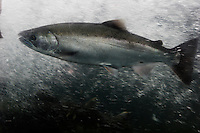 Salmon swim in an in front of a glass window in the river at Dibold fish hatchery in Juneau.