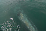 gray whale resting