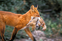 MF176  Red Fox carrying arctic ground squirrel and ptarmigan back to pups (at den).  Alaska.  Summer.