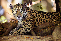 Portrait of a wild jaguar (Pantera onca), Pantanal, Brazil
