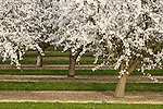 Almond trees with white blossoms, late winter, College City, Calif.