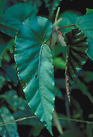 Asymmetrical leaf of Begonia pulchella in Atlantic rainforest (Mata Atlantica), Serra do Mar, Rio de Janeiro State, Brazil.