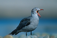 540042502 a young heermans gull larus heermanni calls out while standing on a rocky shoreline beach in ventura county california