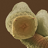 Ragworm (Nereis virens) also referred to as the clamworm or sandworm.