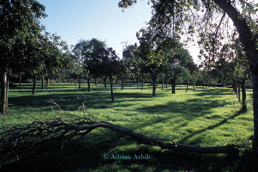 Andrew Foot's  apple  orchards -  10 acres of cider orchards in Somerset  which Andrew is  now preparing to grub up because of loss of subsidy when the single farm payment  system is introduced - as his land is under trees.