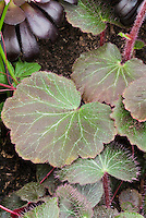 Saxifraga 'Maroon Beauty' (stolonifera) perennial plant with beautiful veined fuzzy foliage leaves closeup with hairs and red stems