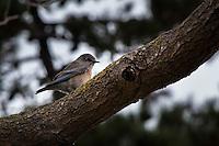 A small, sparrow-like bird watches from its perch on a tree limb at the San Leandro Marina.