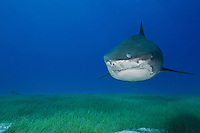 RW4216-D. Tiger Shark (Galeocerdo cuvier), large and dangerous species, usually solitary though may aggregate around food source such as dead whale. Life span thought to be 45-50 years. Varied diet, from birds to turtles to fish to marine mammals. Bahamas, Atlantic Ocean.<br /> Photo Copyright &copy; Brandon Cole. All rights reserved worldwide.  www.brandoncole.com