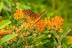Fritillary butterfly on orange flowers.