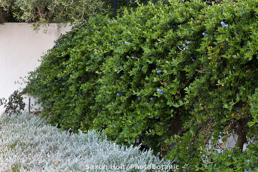 California lilac (Ceanothus) planted against stucco wall with gray foliage Plecostachys serpyllifolia in drought tolerant garden, Santa Barbara, spring