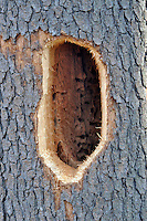 Drilled Pileated Woodpecker hole with Carpenter Ant chambers inside