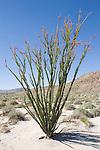 Anza-Borrego Desert State Park, Borrego Springs, California; flowering Ocotillo (Fonquieria splendens) cactus on the desert floor