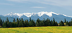 Sequim, Washington; a panoramic view of the snow covered Olympic mountains, pine trees and a field of yellow wildflowers