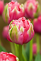 Tulip 'Erfurt' (Double Late Group), mid May.