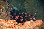 Brick Soldierfish, Myripristis amaena, (Castelnau, 1873), Lanai Hawaii