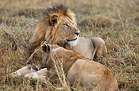 A couple of mature lions separate from the pack during mating season.  This two in the Maasai Mara National Park in Kenya. (PHOTO: MIGUEL JUAREZ LUGO).