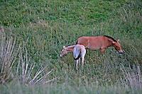 Mongolia Cavalli allo stato brado in riserva .Mongolian Wild Horse (o Asiatic Wild Horse; Equus przewalskii przewalskii Poliakov)  Hustai National Park, Wild horses in reserve,chevaux sauvages dans la réserve