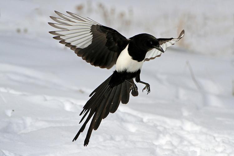 Magpie landing - photo#4