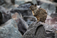Motionless, a California ground squirrel stands and stares from its perch on rocks along the eastern shores of San Francisco Bay.