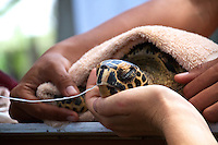 A young hawksbill turtle was brought in by a fisherman to the research base in Jagna, Bohol. This turtle had swallowed a fishing hook, after a couple of weeks of treatment it was released again.