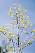 Myodocarpusfraxinifolius