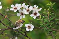 A bee on a manuka flower.