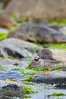 Greater Yellow Legs feeds in the intertidal shore in the coastal town of Haines, Alaska