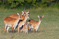 A group of red lechwe standing together, Botswana, Africa