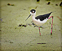 Black Neck Stilt standing in duckweed on one leg