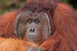 Bornean Orangutan (Pongo pygmaeus wurmbii) - Tom, king of the jungle of Camp Leakey.