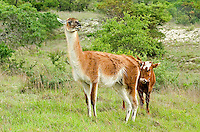 656600001 a domesticated llamma llama glama stands in an open field with a cow on a private ranch in central texas