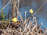 Pair of Goldfinches rests on reeds near Lake Nokomis in springtime