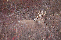 Trophy whitetail buck during the fall rut in Montana