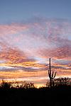Dawn clouds and silhouetted saguaros (Carnegiea gigantea) at sunrise, Sabino Canyon Recreation Area, Coronado National Forest, Arizona