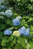 Blue hydrangeas in flower, medium shot of plant with many flower heads
