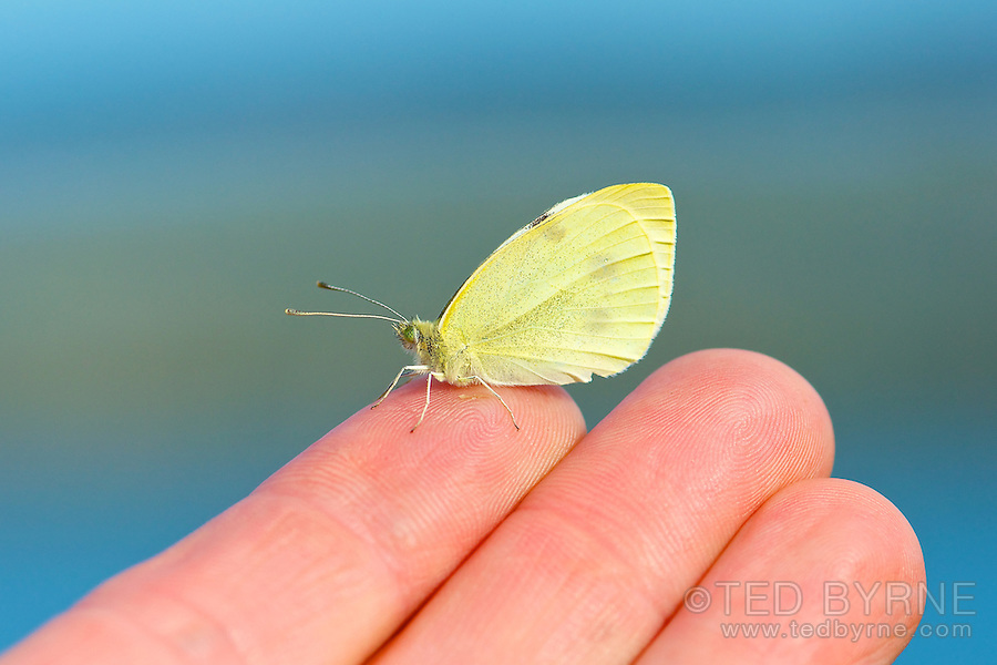 Yellow butterfly sitting delicately on a human finger