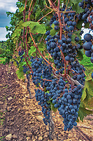 Beautiful mature grapes on the vine in a Niagara-on-the-Lake vineyard.
