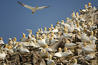 Northern Gannet nesting colony, Scotland, UK.