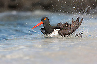 American oyster catcher bathes along the shores of Punto Suarez, Espanola Island, Galapagos Islands, Ecuador.